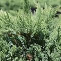 """Можжевельник казацкий """"Tamariscifolia"""" - фото 5229"""