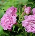 "Роза ""Romantic Roadrunner"" - фото 5241"