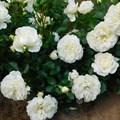 """Роза """"White Meidiland"""" - фото 5243"""