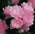 "Роза ""The Fairy"" - фото 5246"