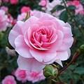"""Роза """"Bonica"""" - фото 5247"""