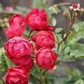 "Роза ""Rose Morsdag"" - фото 5251"