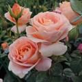 "Роза ""Bengali"" (Korbehati) - фото 5266"