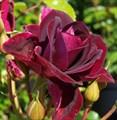 "Роза ""Burgundi Ice"" (Prose) - фото 5277"