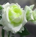 "Роза ""Elfe"" (Tanelfe) - фото 5296"