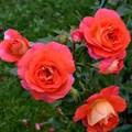 "Роза ""Gebrüder Grimm"" (Korassenet) - фото 5314"