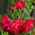 "Роза ""Hansaland"" (Korhassi) - фото 5325"