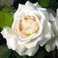 "Роза ""Kosmos"" (Korpriges) - фото 5330"