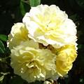 """Роза """"Golden Mozart"""" - фото 5336"""