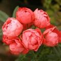 "Роза ""Orange Morsdag"" - фото 5387"