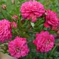 "Роза ""Purple Rain"" (Korpurlig) - фото 5390"