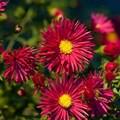 """Астра новобельгийская """"Crimson Brocade"""" - фото 5484"""