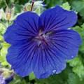 "Герань гибридная ""Blue Blood"" - фото 5527"