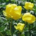 """Купальница китайская """"Lemon Supreme"""" - фото 5668"""