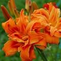 """Лилейник """"Apricot Beauty"""" - фото 5670"""