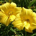 """Лилейник """"Yellow Bouquet"""" - фото 5680"""