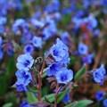 "Медуница гибридная ""Blue Ensign"" - фото 5691"