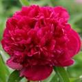 """Пион молочноцветковый """"Red Sarah Bernhardt"""" - фото 5733"""