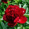 """Пион молочноцветковый """"Red Charm"""" - фото 5739"""
