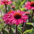 """Эхинацея пурпурная """"Sensation Pink"""" - фото 5746"""