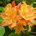 """Азалия """"Golden Lights"""" - фото 5829"""