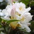 """Рододендрон """"Cunningham`s White"""" - фото 5842"""