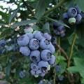 "Голубика садовая ""Earliblue"" - фото 5851"