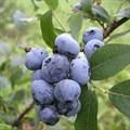 """Голубика садовая """"Bluecrop"""" - фото 5853"""