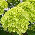 """Гортензия метельчатая """"Little Lime"""" - фото 5901"""
