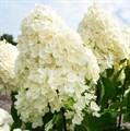 """Гортензия метельчатая """"Summer Snow"""" - фото 5943"""