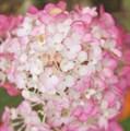 """Гортензия метельчатая """"Sundae Fraise"""" - фото 5949"""
