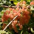 """Смородина красная """"Голландская розовая"""" - фото 6248"""