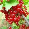 """Смородина красная """"Ранняя сладкая"""" - фото 6249"""