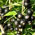 """Смородина черная """"Багира"""" - фото 6254"""