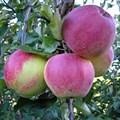 """Яблоня домашняя """"Аэлита"""" - фото 6256"""