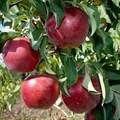 """Яблоня домашняя """"Алеся"""" - фото 6264"""