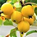 "Яблоня домашняя ""Китайка золотая"" - фото 6275"