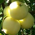 """Яблоня домашняя """"Белый налив"""" - фото 6277"""