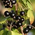 """Смородина черная """"Черница"""" - фото 6281"""