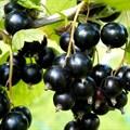 """Смородина черная """"Севчанка"""" - фото 6283"""