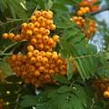 "Рябина ""Golden Wonder"" - фото 6402"
